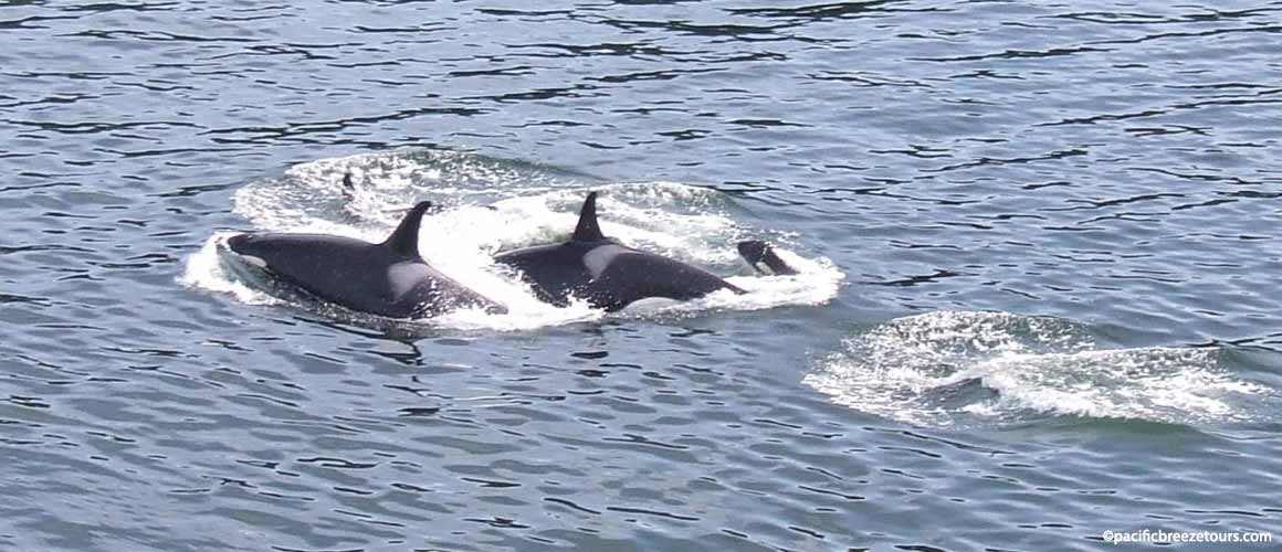 Victoria BC whale watching tours